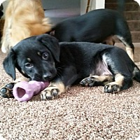 Adopt A Pet :: Puppies - Alliance, NE