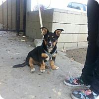 Adopt A Pet :: Georgie - Lomita, CA