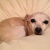 Chihuahua Dog for adoption in Fresno, California - 'Phillis'