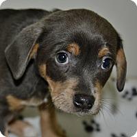 Adopt A Pet :: Hulk - Meridian, ID