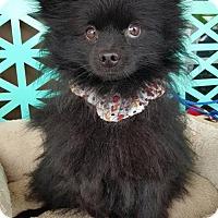 Adopt A Pet :: Bear - Scottsboro, AL