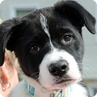 Adopt A Pet :: Oreo - Potomac, MD