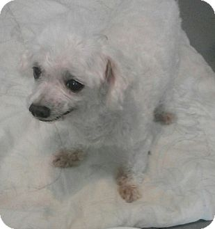 Poodle (Miniature) Mix Dog for adoption in Inverness, Florida - Elliot