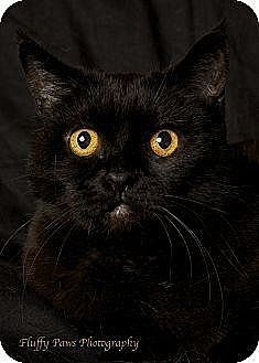 American Shorthair Cat for adoption in Gilbert, Arizona - Raven