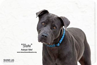 Pit Bull Terrier Mix Dog for adoption in Wichita, Kansas - Slate