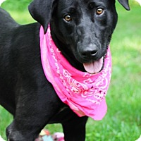 Labrador Retriever Mix Dog for adoption in Brattleboro, Vermont - Anya