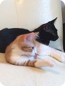 Domestic Shorthair Cat for adoption in Mission Viejo, California - Ace & Butterscotch 2