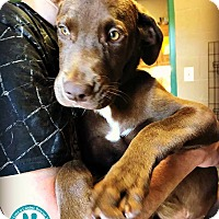 Adopt A Pet :: Dakota - Kimberton, PA
