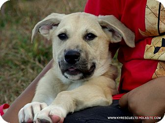 Bullmastiff/Great Pyrenees Mix Puppy for adoption in PRINCETON, Kentucky - ROSE/ADOPTED