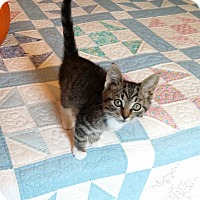 Adopt A Pet :: Elwood-Adorable Sept kitten - Taylor Mill, KY