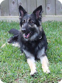German Shepherd Dog Dog for adoption in Houston, Texas - Aria