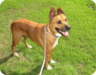 Shepherd (Unknown Type) Mix Dog for adoption in Scottsdale, Arizona - Buster