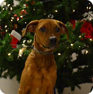 Boxer/Labrador Retriever Mix Puppy for adoption in Lebanon, Missouri - Bandit