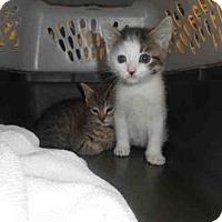 Domestic Mediumhair Kitten for adoption in Louisville, Kentucky - A602680