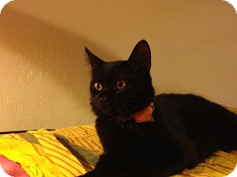 Domestic Shorthair Cat for adoption in Walnut Creek, California - Audrey