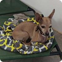 Adopt A Pet :: Lemmy - Apache Junction, AZ