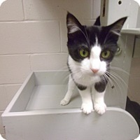 Adopt A Pet :: Bandit - Muscatine, IA