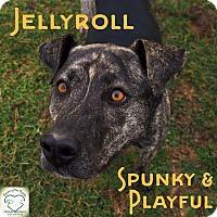 Adopt A Pet :: Jellyroll - Washburn, MO