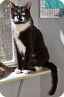 Domestic Shorthair Cat for adoption in Deerfield Beach, Florida - Santa Cruz