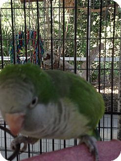 Parakeet - Quaker for adoption in Punta Gorda, Florida - JoJo