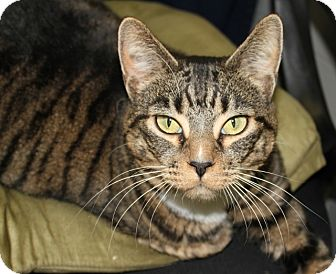 Domestic Shorthair Cat for adoption in Grants Pass, Oregon - Sophie