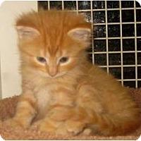 Adopt A Pet :: Maine Coon kittens - Dallas, TX