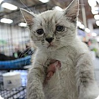Adopt A Pet :: kitty11 - Santa Monica, CA