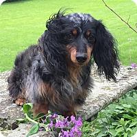 Adopt A Pet :: Susie - Marcellus, MI