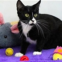 Domestic Shorthair Cat for adoption in Sebastian, Florida - Sylvia