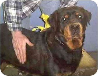 Rottweiler Dog for adoption in Forest Hills, New York - Nikki