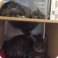 Adopt A Pet :: Vanessa - Manchester, CT