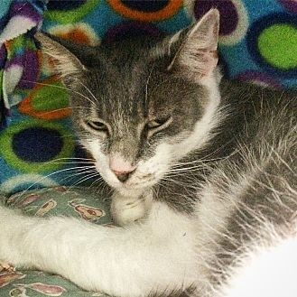 Domestic Shorthair Cat for adoption in Lunenburg, Massachusetts - Shamrock