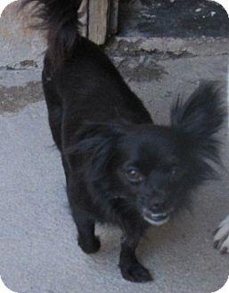 Chihuahua/Pomeranian Mix Dog for adoption in San Ysidro, California - Tika