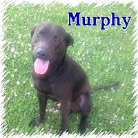 Adopt A Pet :: Murphy - Doylestown, PA
