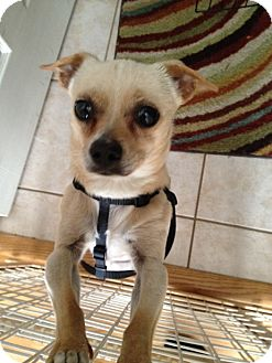 Chihuahua Dog for adoption in Schaumburg, Illinois - Speedy-courtesy post