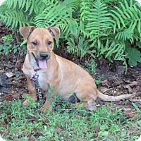 Adopt A Pet :: BOYD - Hartford, CT