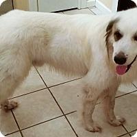 Adopt A Pet :: Wooly - Kyle, TX