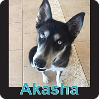 Siberian Husky Mix Dog for adoption in Scottsdale, Arizona - Akasha