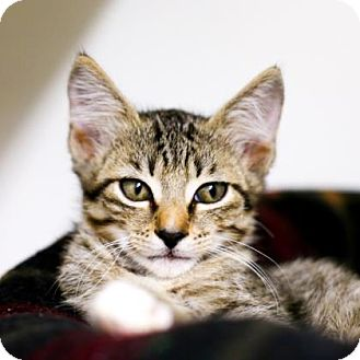 Domestic Shorthair Kitten for adoption in Austin, Texas - Peanut Butter