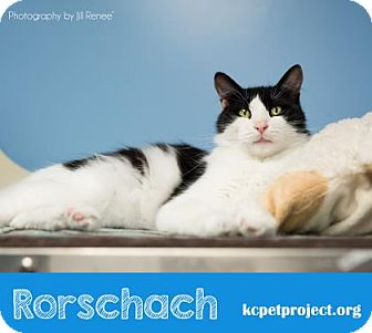 Domestic Longhair Cat for adoption in Kansas City, Missouri - Rorschach