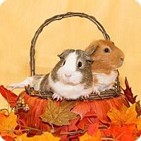 Adopt A Pet :: Ralph - Lowell, MA