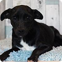 Adopt A Pet :: Licorice - Waldorf, MD