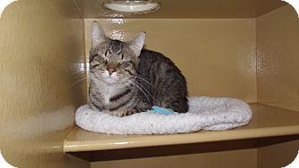 Domestic Shorthair Cat for adoption in Appleton, Wisconsin - Molasses *Petsmart GB*