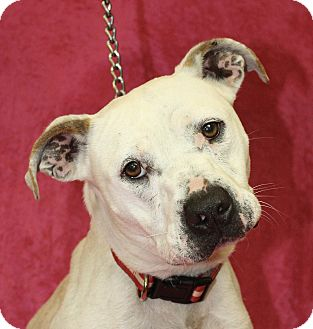 Pit Bull Terrier Mix Dog for adoption in Jackson, Michigan - Kasi