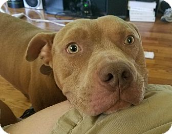 American Staffordshire Terrier Mix Dog for adoption in Oak Park, Illinois - Bo