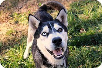 Siberian Husky Dog for adoption in Youngsville, North Carolina - Stryker