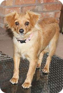 Chihuahua Mix Dog for adoption in Houston, Texas - Fancy