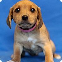Adopt A Pet :: Celia - Waldorf, MD