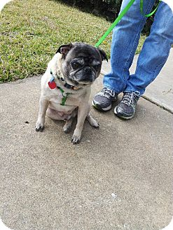 Pug Dog for adoption in Austin, Texas - Feldman