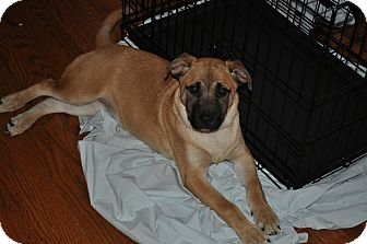 Shepherd (Unknown Type)/Labrador Retriever Mix Puppy for adoption in Millersville, Maryland - Abbey